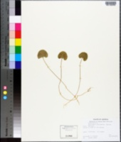 Dichondra brachypoda image