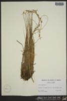 Carex canescens image