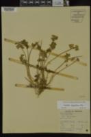 Image of Lamium dissectum