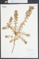 Hypericum hypericoides image