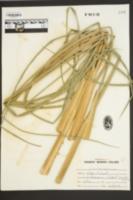 Zizaniopsis miliacea image
