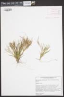 Dichanthelium ensifolium var. ensifolium image