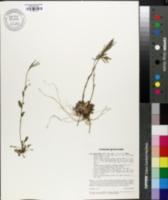 Image of Arabis ciliata