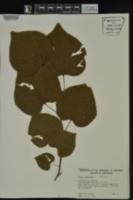 Cercis canadensis var. canadensis image