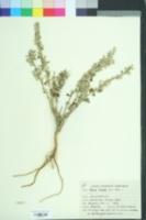 Aerva lanata image