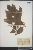 Misanteca triandra image