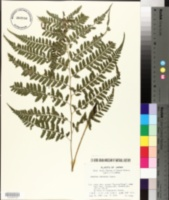 Image of Athyrium clivicola