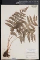 Dryopteris × triploidea image