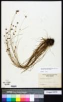 Rhynchospora gracilenta image
