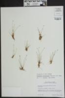 Eleocharis atropurpurea image