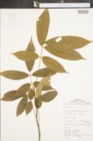 Image of Lonchocarpus nicou