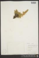 Image of Artemisia senjavinensis
