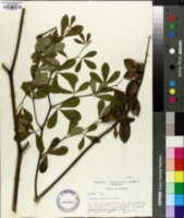 Baptisia psammophila image