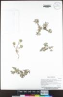 Psilocarphus brevissimus var. brevissimus image