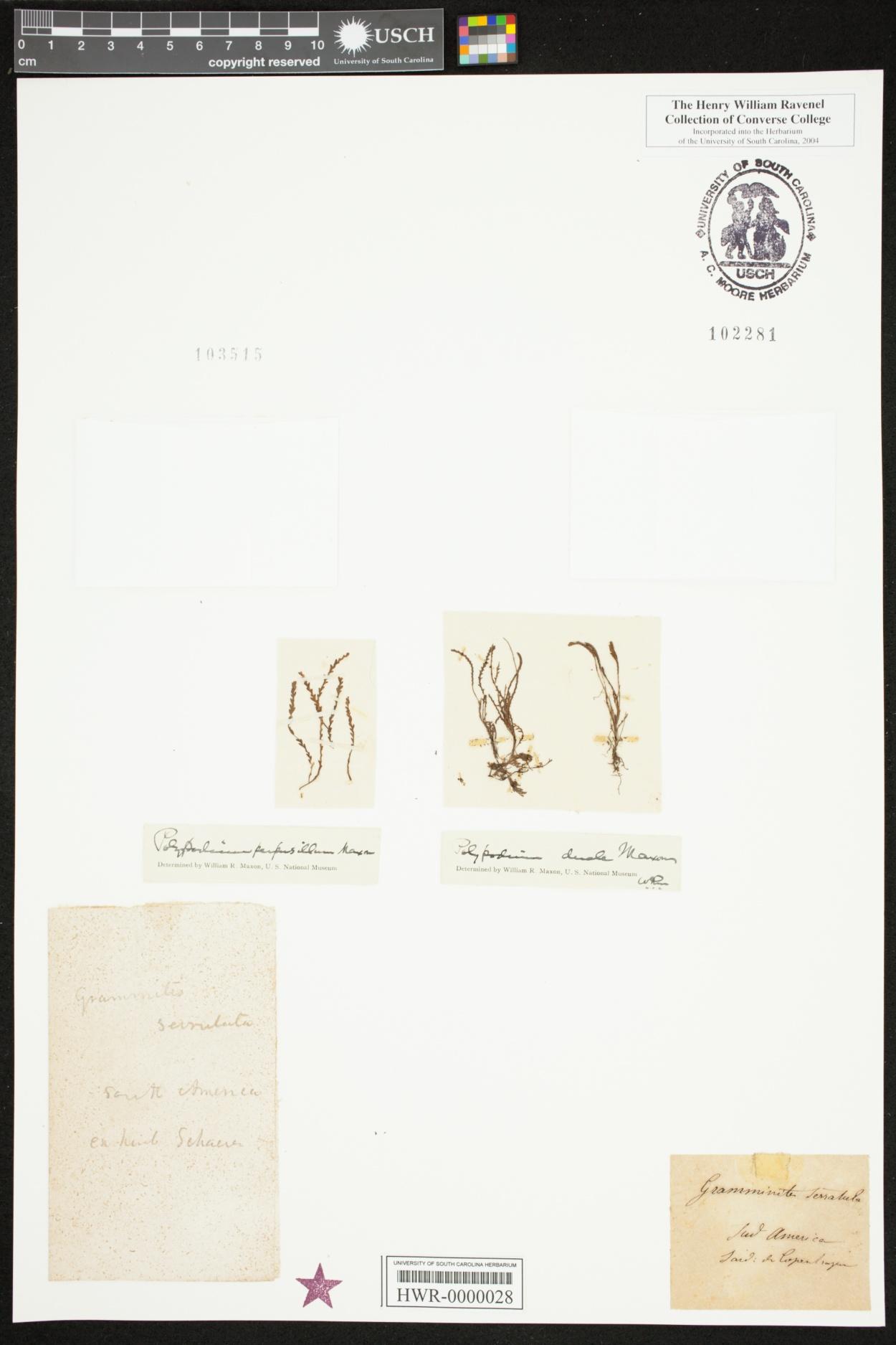 Micropolypodium perpusillum image
