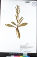 Fritillaria purdyi image