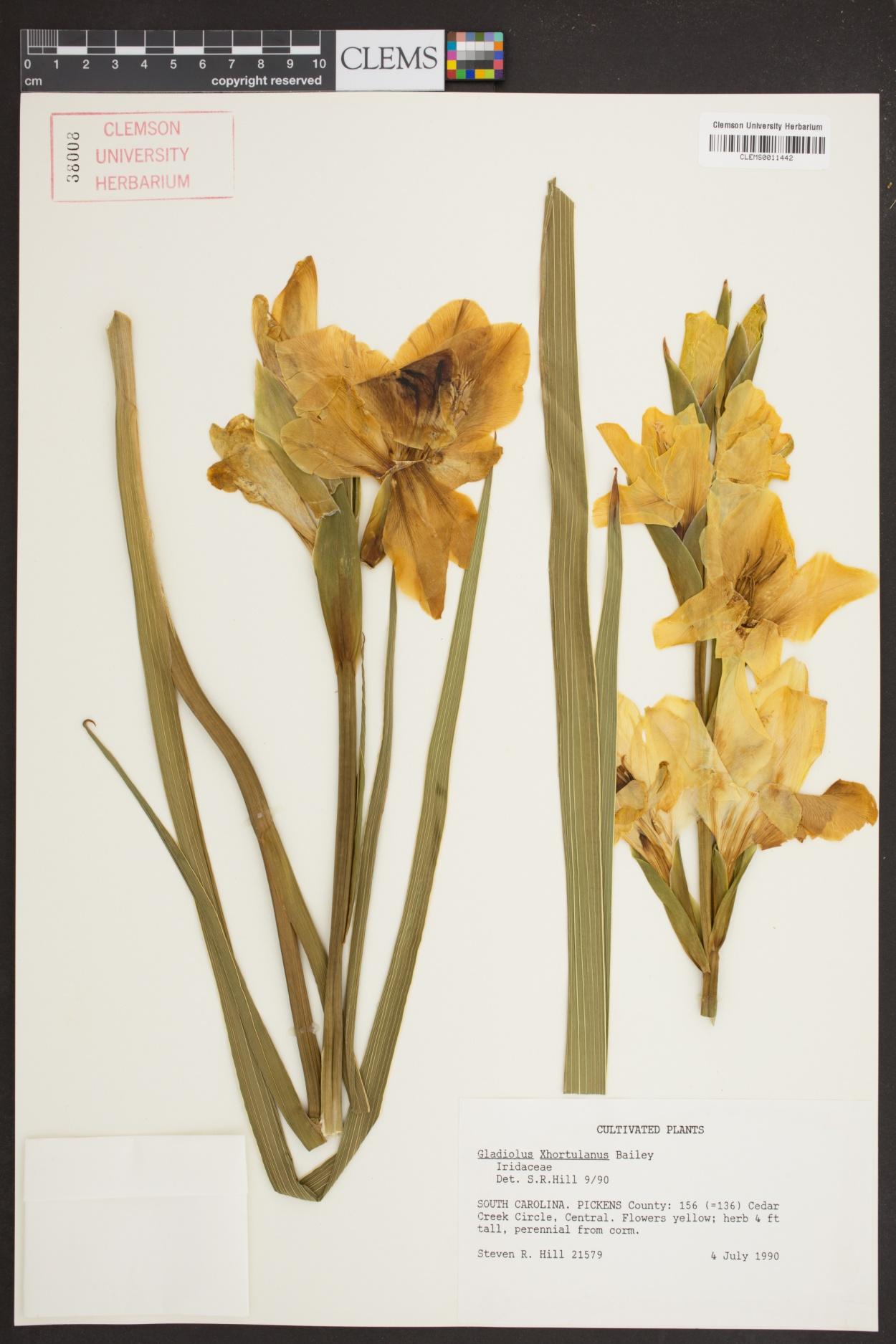 Gladiolus x hortulanus image