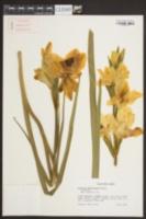 Image of Gladiolus x hortulanus
