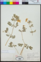 Kallstroemia peninsularis image