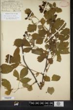 Image of Rubus pennus