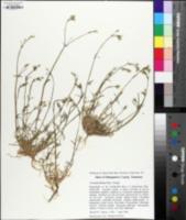 Cerastium dubium image