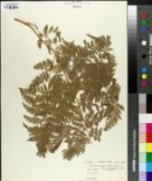 Image of Dryopteris crenata