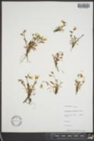 Claytonia arctica image