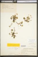 Viola appalachiensis image