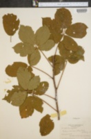 Image of Rubus ascendens