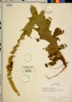 Verbascum phlomoides image