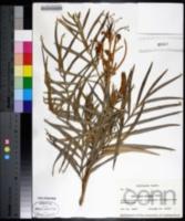 Grevillea robusta image