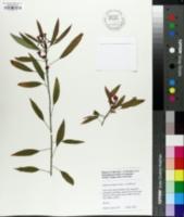 Image of Euphorbia fulgens