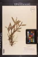 Epidendrum rigidum image