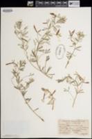 Lotus utahensis image