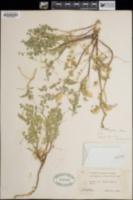 Astragalus lentiginosus var. wilsonii image