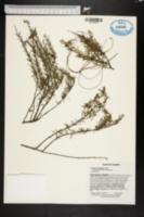 Image of Conradina grandiflora