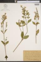 Image of Scutellaria versicolor
