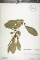 Image of Pyrularia pubera