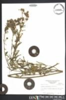 Image of Lespedeza angustifolia