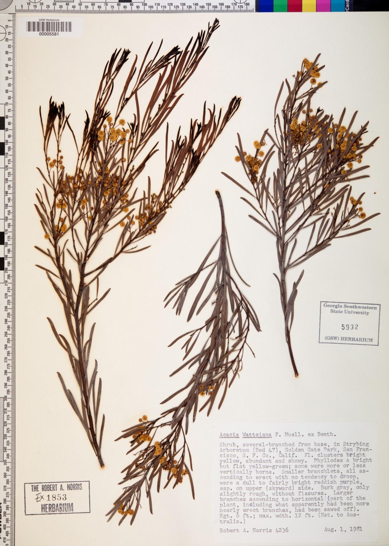 Acacia wattsiana image