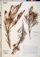 Image of Acacia wattsiana