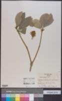 Skimmia japonica image