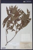 Salix eriocephala image