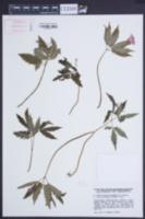 Image of Cardamine glanduligera