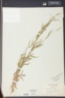 Panicum lucidum image