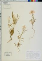 Erysimum concinnum image