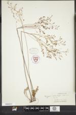 Lechea pulchella image