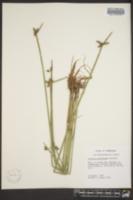 Schoenoplectiella purshiana image