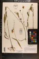 Image of Coreopsis aristulata