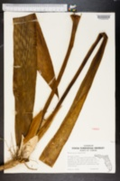 Image of Sansevieria aubrytiana